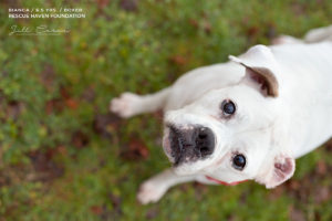 Bianca boxer for adoption in nj