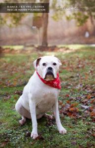 white boxer for adoption in nj