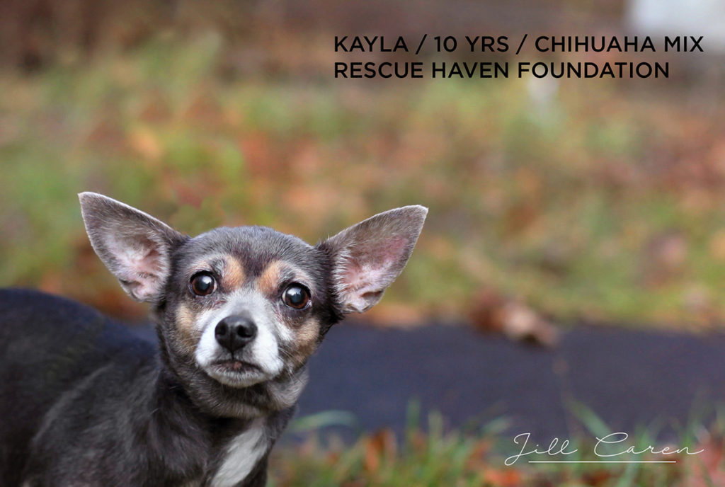 kayla chihuahua mix for adoption