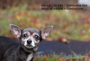 kayla chihuahua mix for adoption
