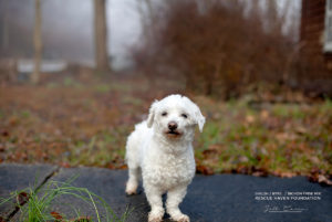 bichon mix shiloh for adoption