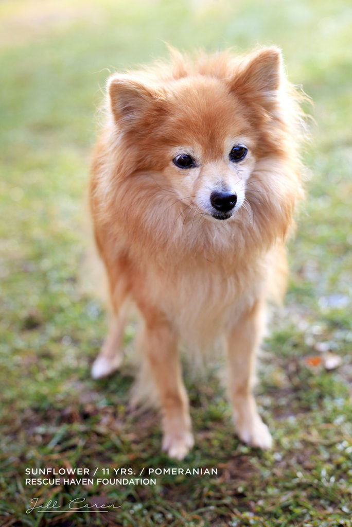 nj pomeranian for adoption in NJ