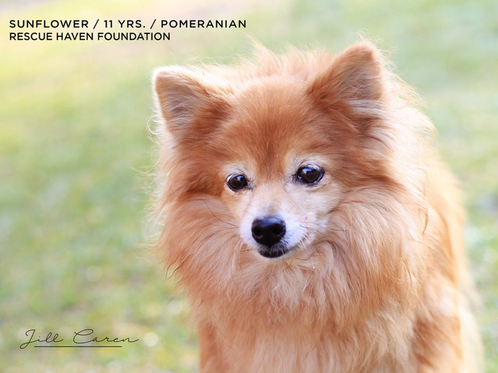 Pomeranian for adoption NJ
