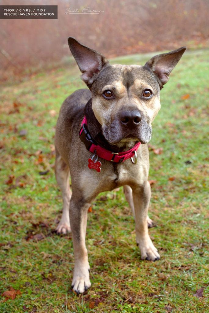 Shepherd pit mix for adoption in nj