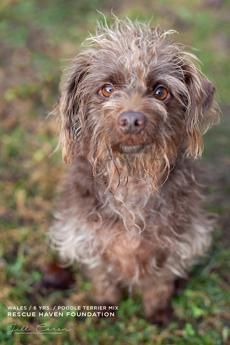 poodle mix for adoption in  nj