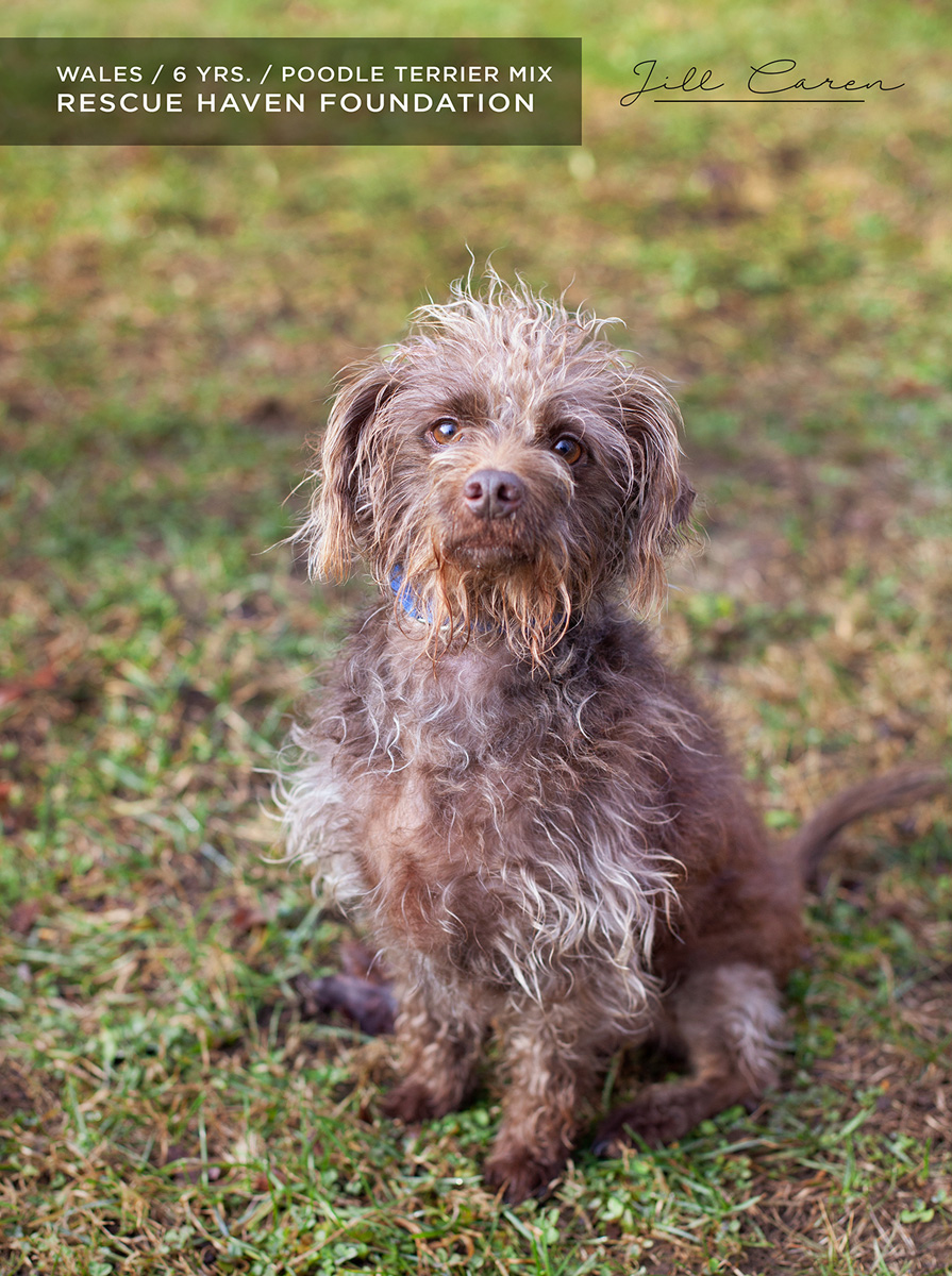wales poodle mix for adoption nj
