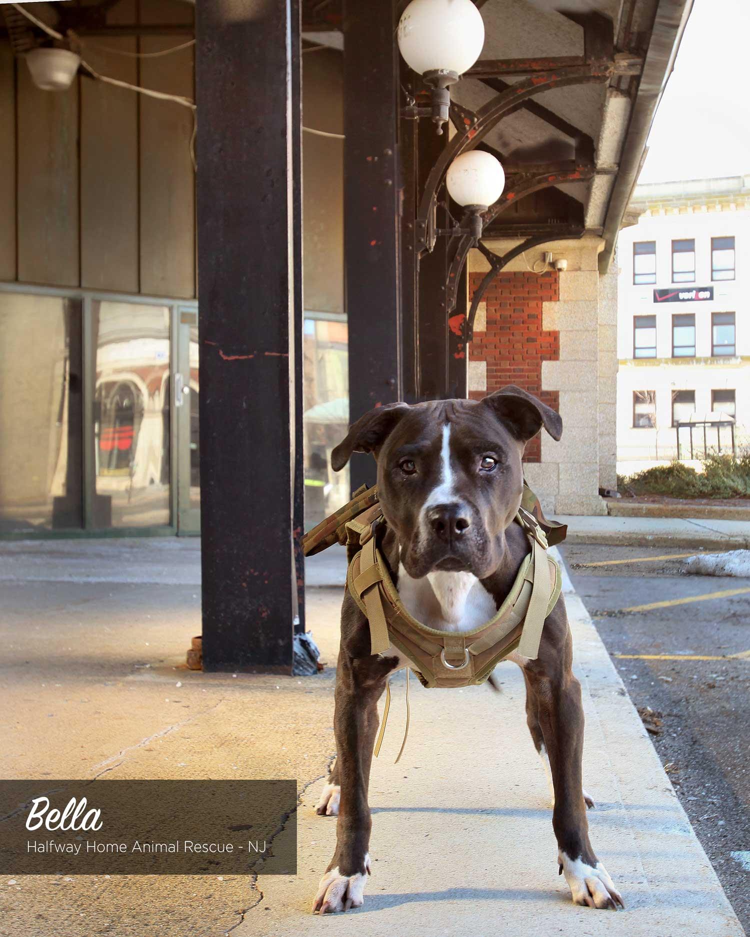 bella adoptable dog in nj
